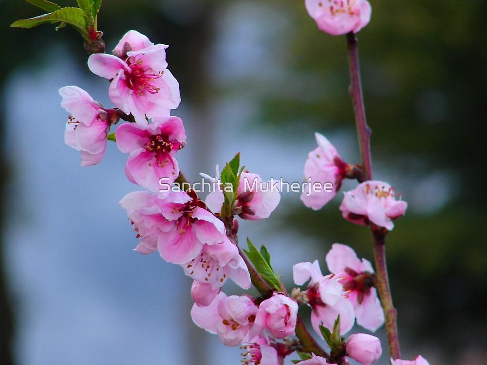 blossom by Sanchita  Mukherjee