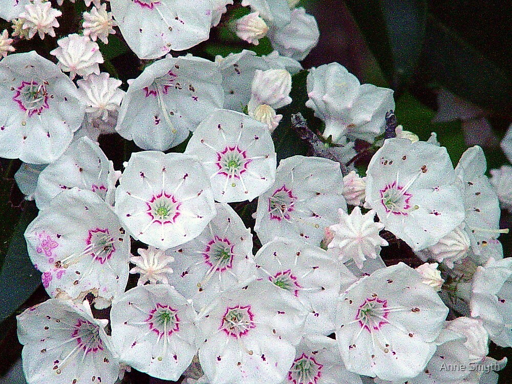 Mountain Laurel by Anne Smyth