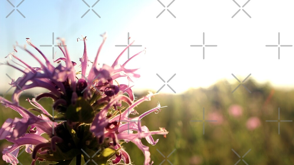 Bee Balm in Summer by Anna Cooke
