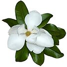 Southern Magnolia Blossom by Bonnie T.  Barry