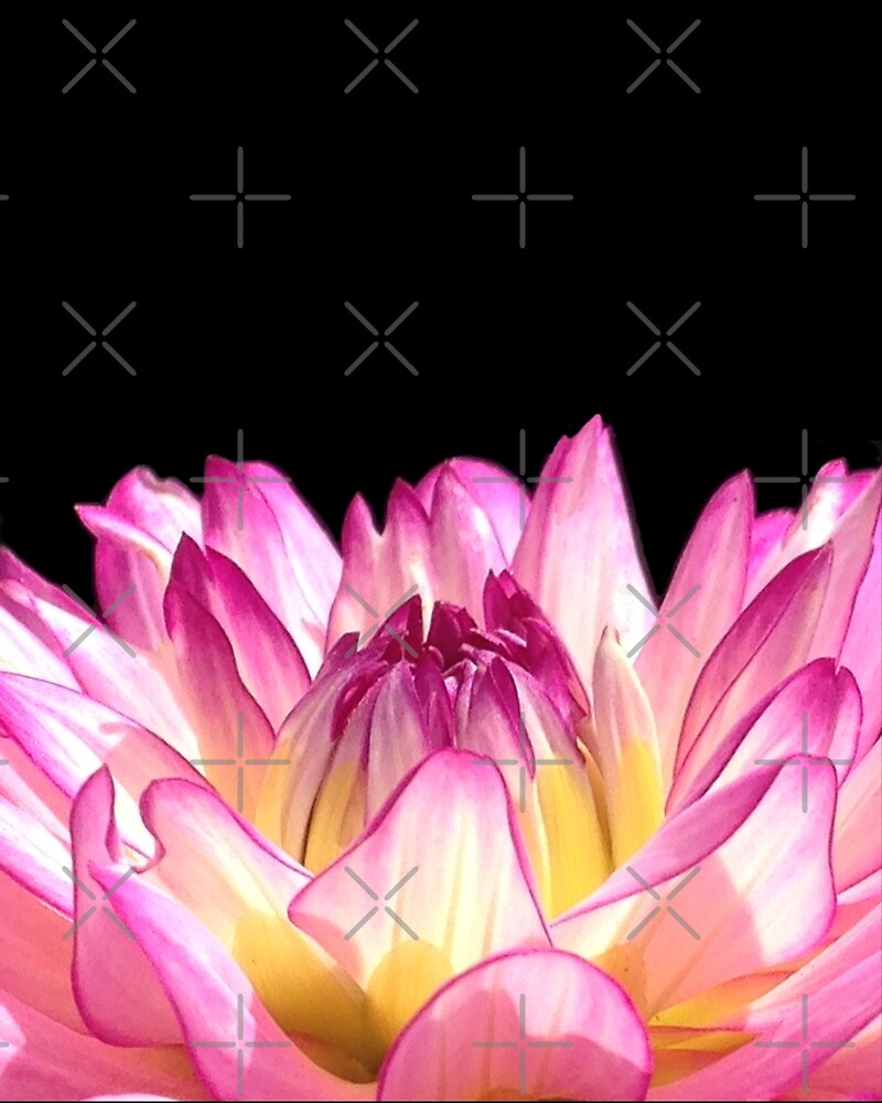 Pink Dahlia by Anna Cooke