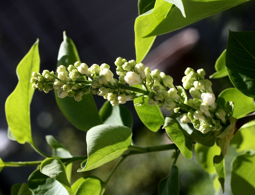 Budding Lilac Tree by shadyuk