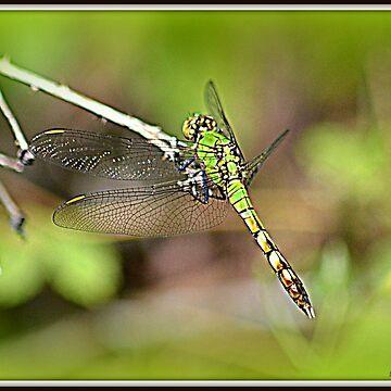 Eastern Pondhawk Juvenile Male Dragonfly by Badtgirl