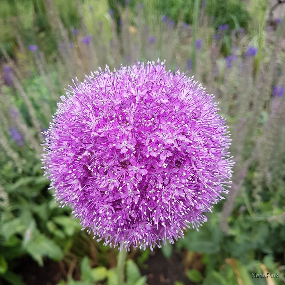 Alium in Full Bloom by NeonPink