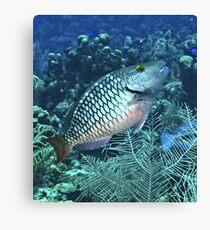 Silver Parrot Fish Canvas Print