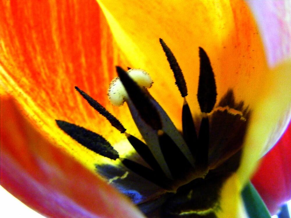 tulip inside by Rita Iszlai