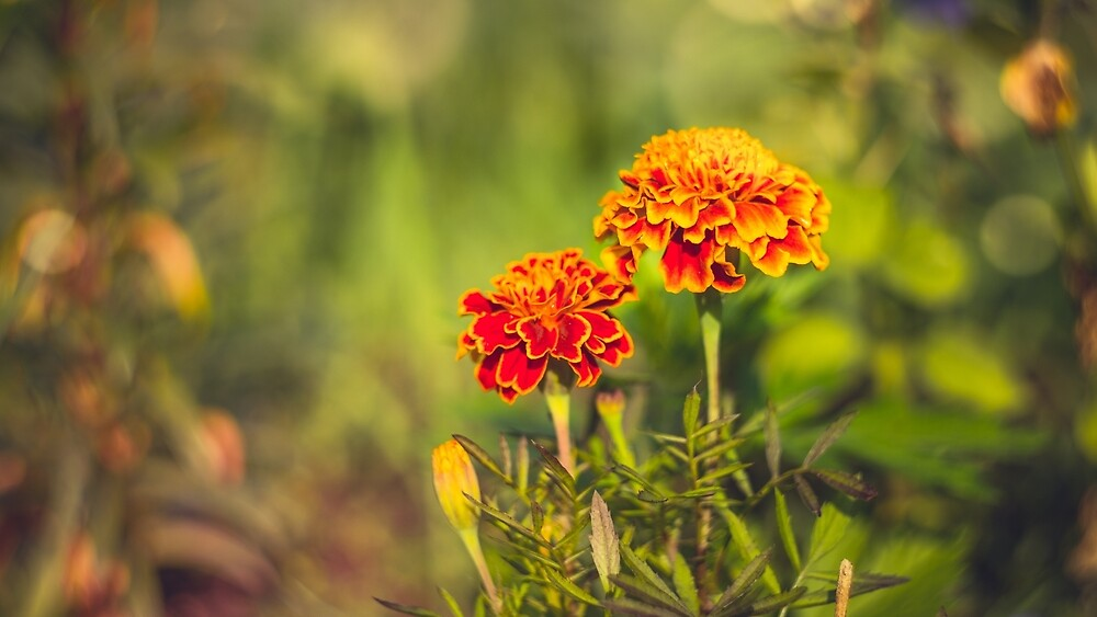 Autumn marigolds by Mariia Kalinichenko