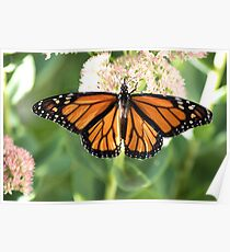 Monarch Beauty1 Poster