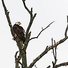 Bald Eagle 2017-1 by Thomas Young