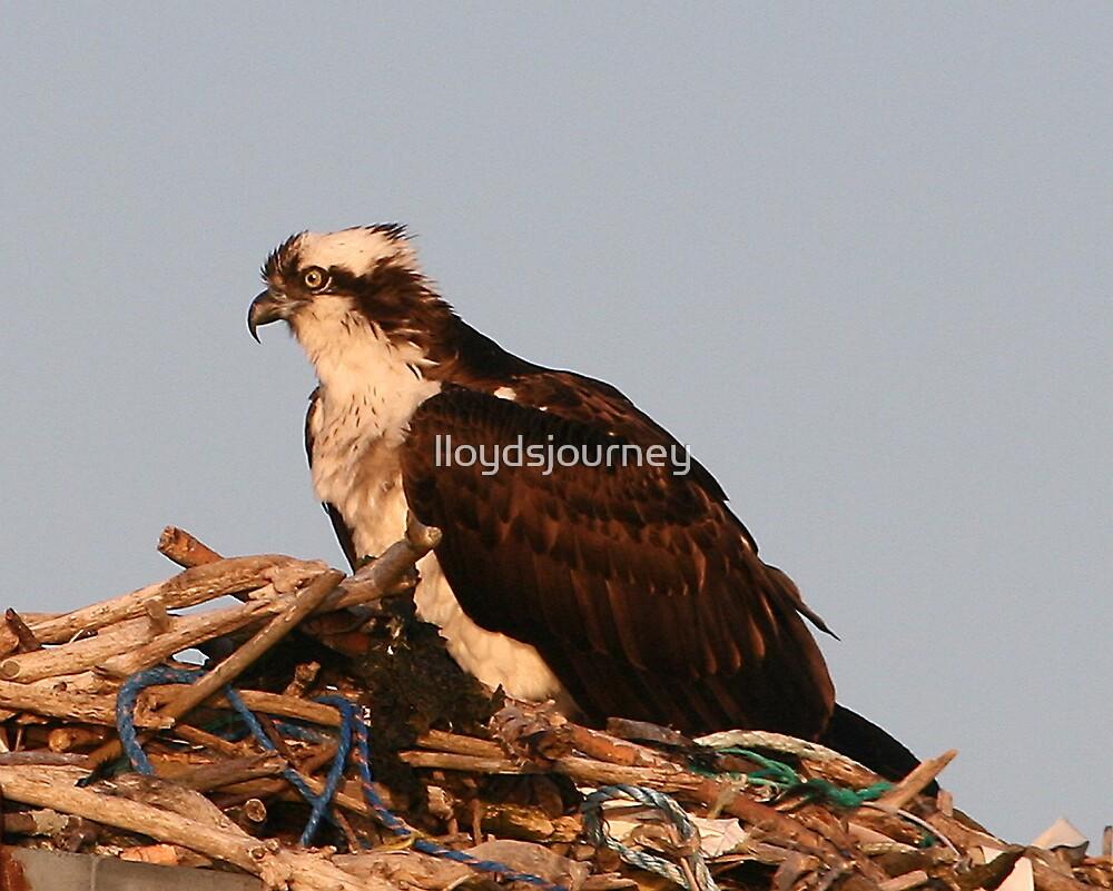 Nesting Osprey by lloydsjourney