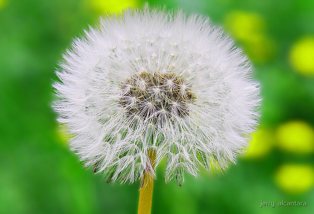 Dandelion by jerry  alcantara