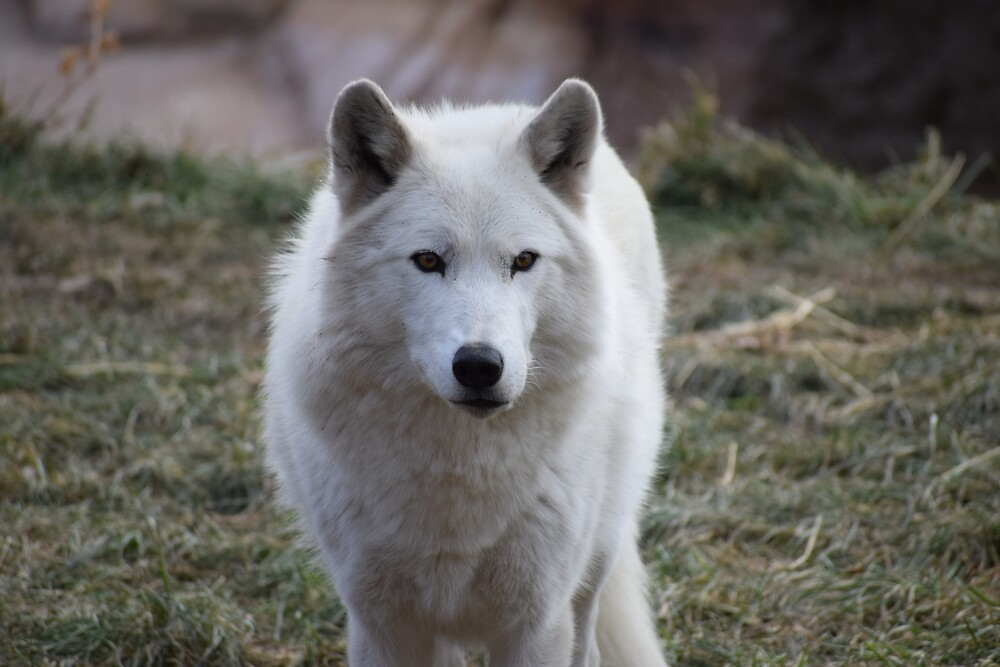 White Wolf by BHighland