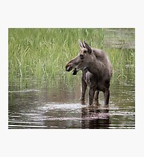 Moose in the water Photographic Print