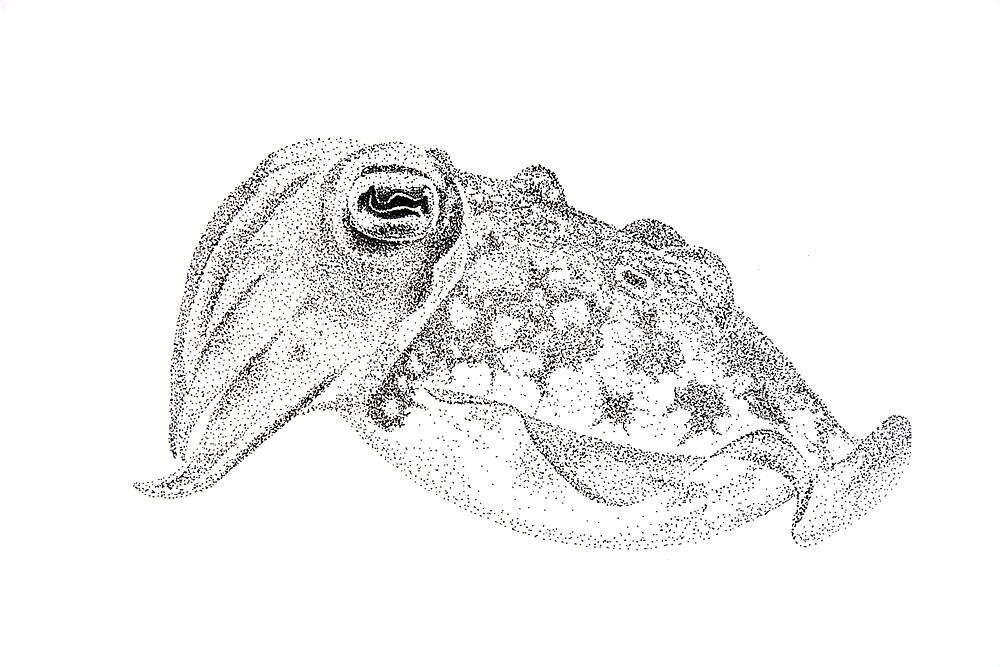 Red cuttlefish ink drawing - Sepia mestus by John Turnbull