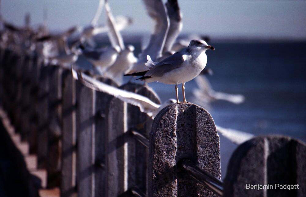 Battery Gulls, Charleston, SC by Benjamin Padgett