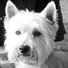 Archie.....West Highland Terrier... by lynn carter