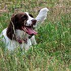 Springer Spaniel........... Woking , Surrey...UK by lynn carter