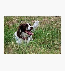 Springer Spaniel........... Woking , Surrey...UK Photographic Print