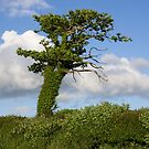 A lone Ivy covered tree by peteton