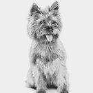 Cairn Terrier - 3a by Avalinart