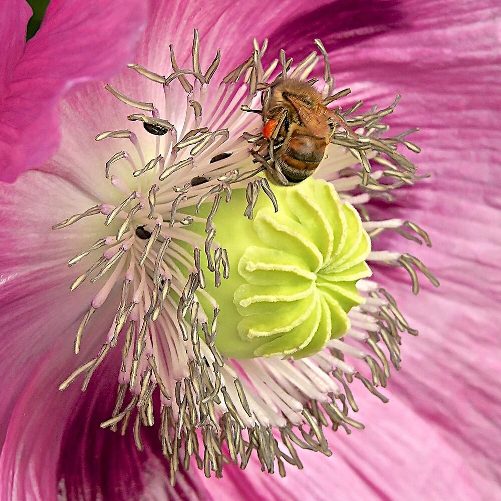 Poppy Love by John Thurgood