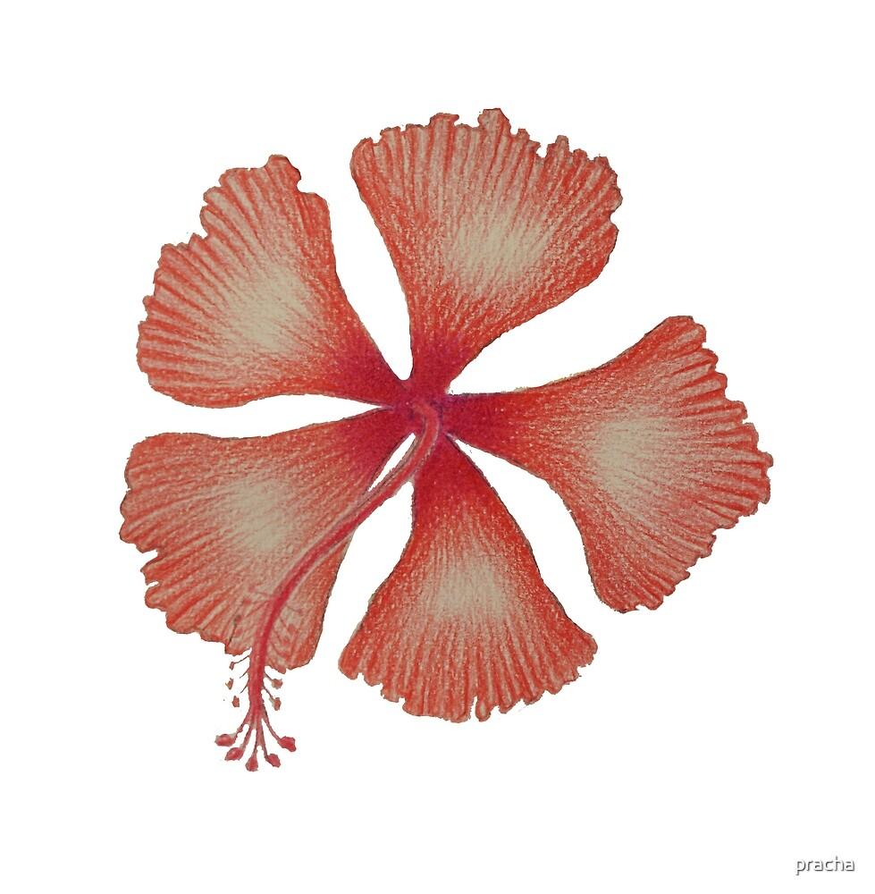 Hibiscus flower by pracha