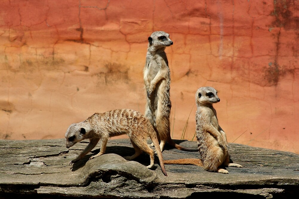 Meerkats at the zoo by FranWest