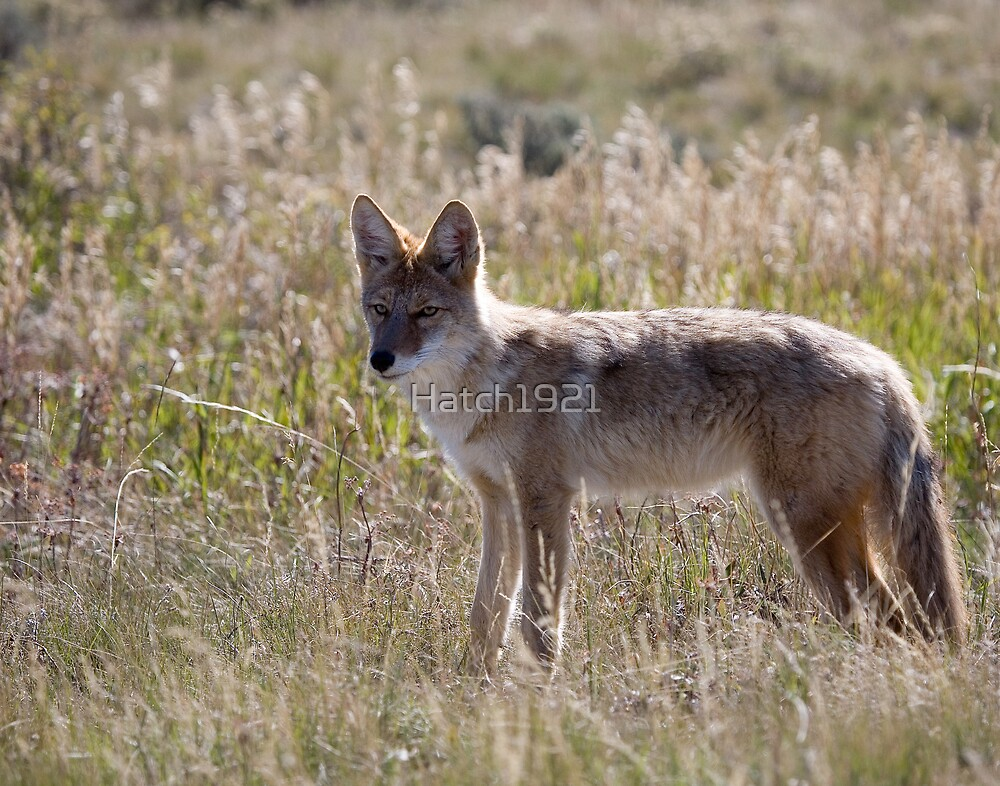 Young Coyote  by Hatch1921