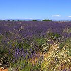 Lavander in Provence by annalisa bianchetti