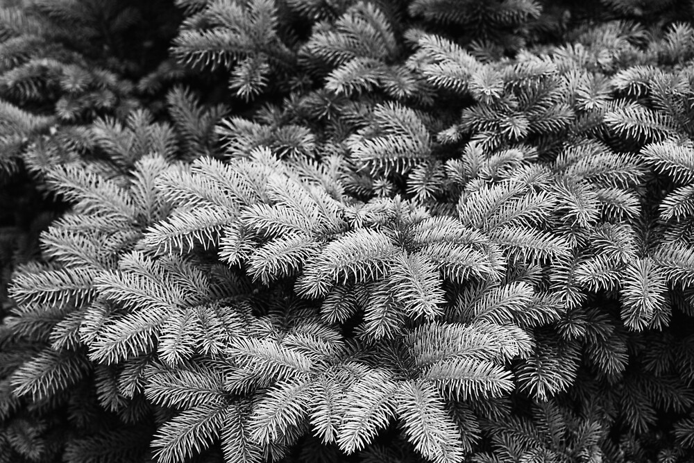 Branches of spruce, black and white by Mariia Kalinichenko