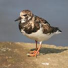 Turnstone by BigAl1