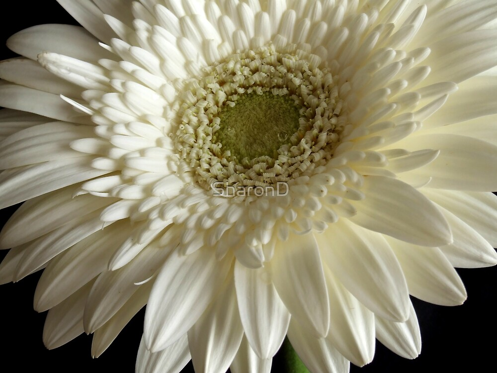 White Gerbera by SharonD