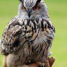 European Owl by Nigel Donald