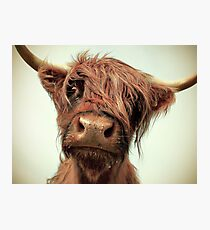 Hairy Coo Photographic Print