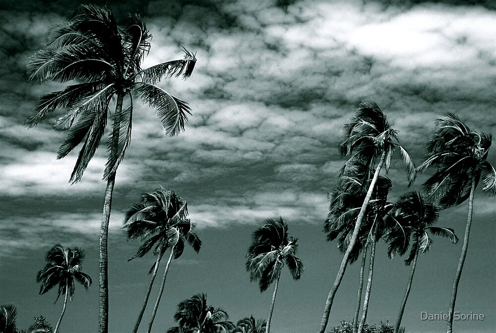 Palm trees in Puerto Rico by Daniel Sorine