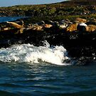 seals in sun by AliceFrench7