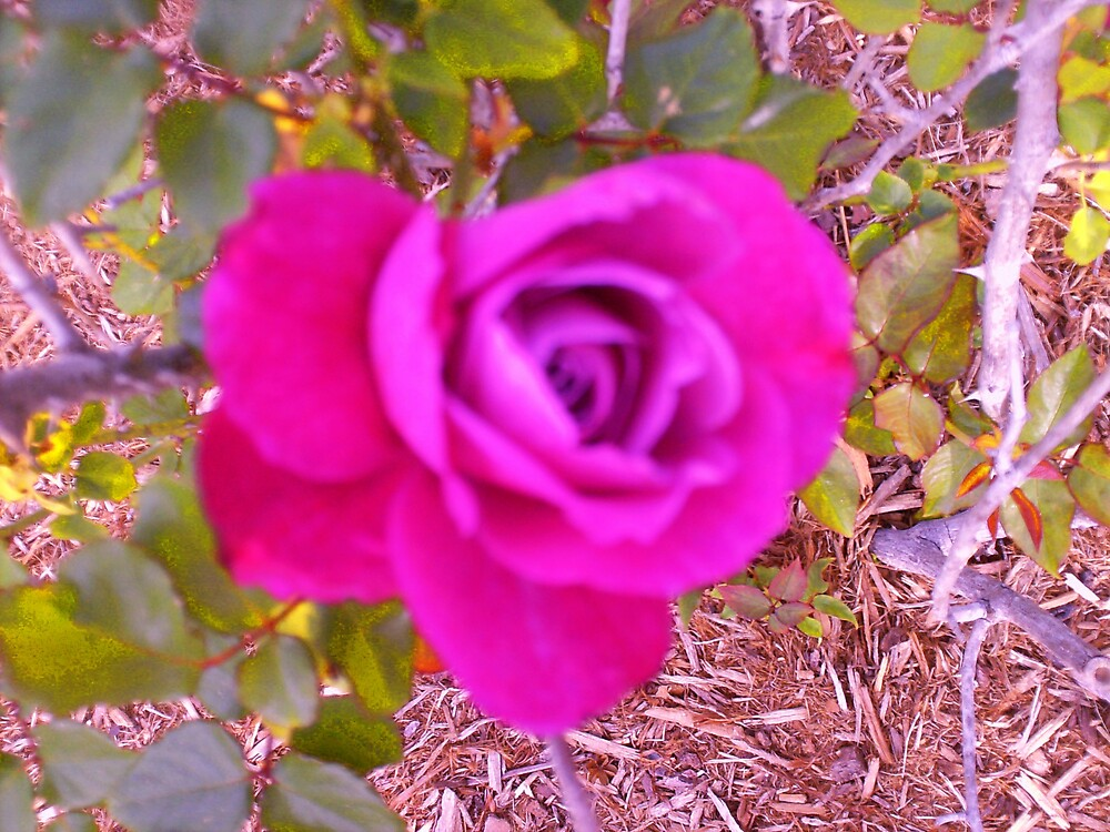 """""""The Rose"""" by lharker"""