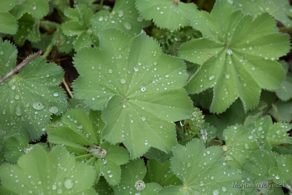 Dew on Leaves by MontanaWolves21