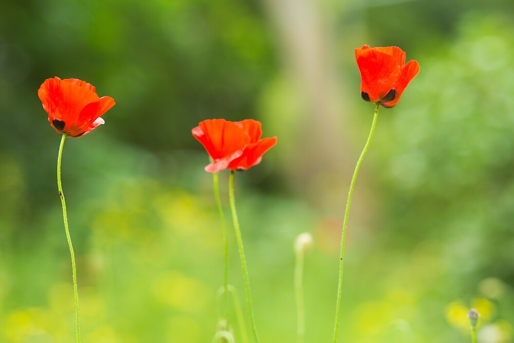 Red poppy flowers by Layuee