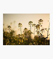 Mustard Plant flowers Photographic Print