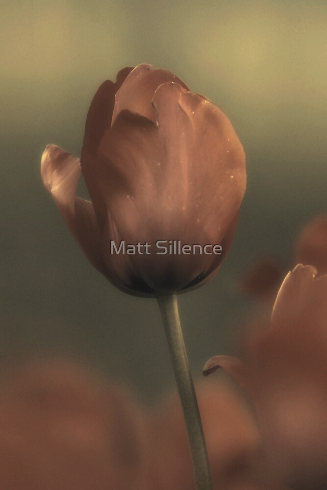 Tulip in the evening by Matt Sillence