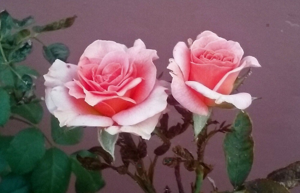 TWIN PINK ROSES by JAYMILO