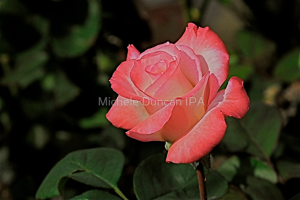 Roses are Red and White by Michele Duncan IPA