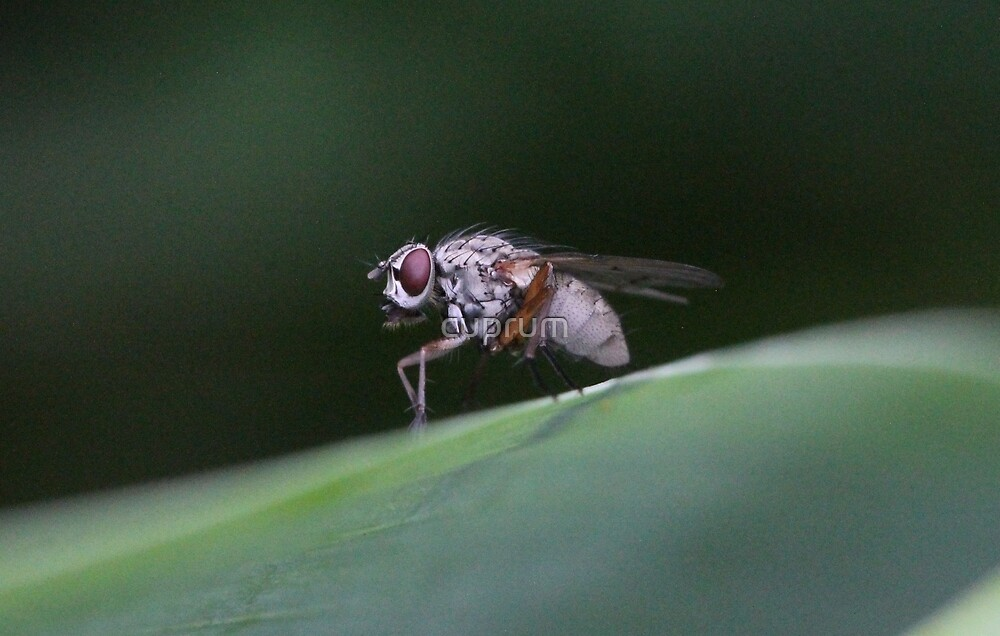 Not a Pretty Guy, this White Fly by cuprum