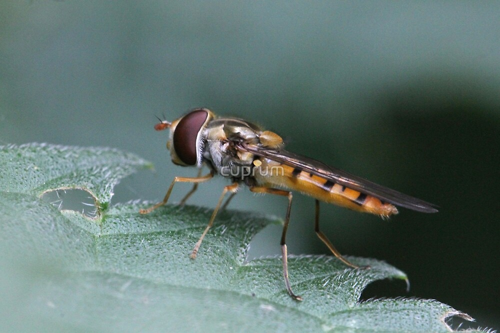 The cutest little hoverfly by cuprum