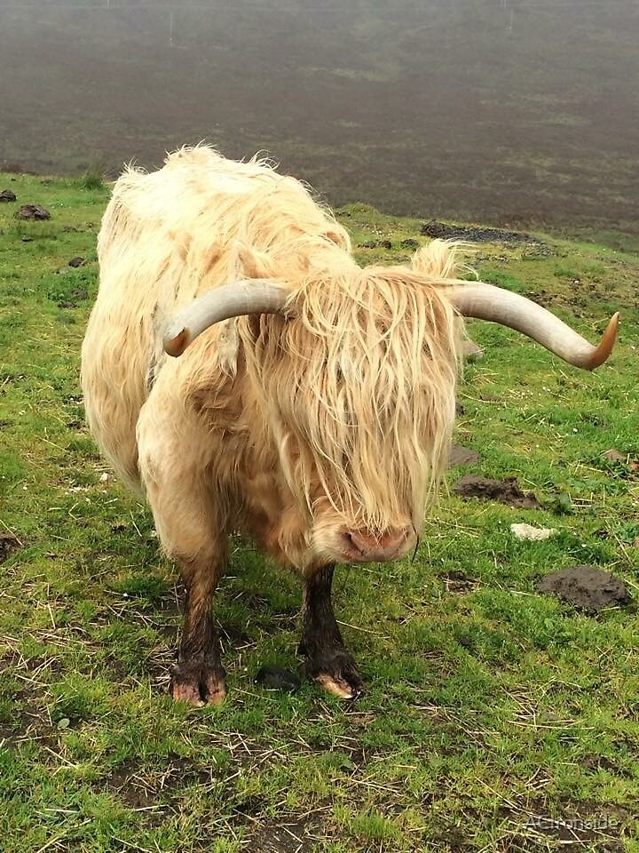 Highland Cow by ACIronside