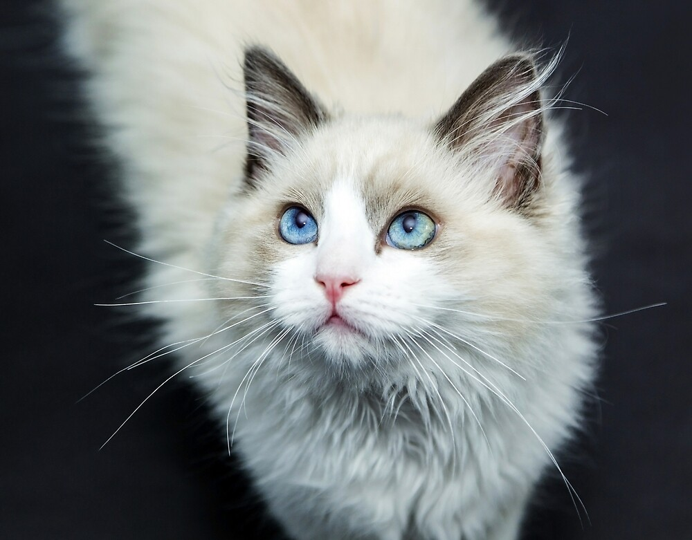 Beautiful cat with big blue eyes by superdazzle
