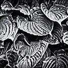 Hosta Leaves in Black and White by MotherNature2