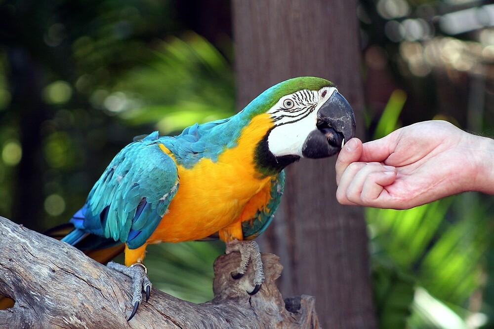 Yellow & blue macaw bird feeding by FranWest