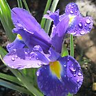 Colours of Royalty - Beautiful Iris with Raindrop Jewels by BlueMoonRose